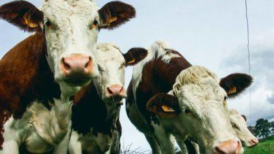 Photo of Clôture connectée, et les vaches sont bien gardées…