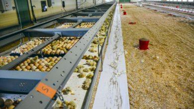 Les plaques de 150 œufs sont disposées dans la structure X-Treck de Vencomatic. Après éclosion les poussins se dirigent sur le tapis sous la structure avant de se rendre naturellement vers le papier sur lequel est disposé l'aliment.