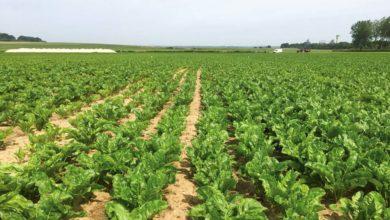 Photo of Betteraves fourragères : Les semences activées ne demandent qu'à lever