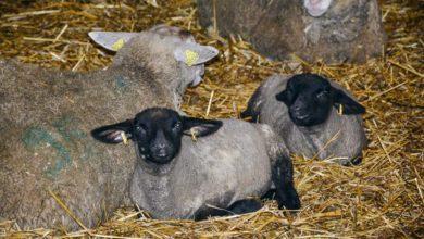 Photo of Les petits ruminants s'attaquent au bien-être