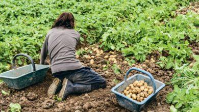 Photo of La production de pomme de terre de conservation prévue en hausse en 2019