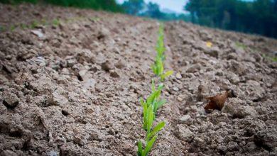 Photo of De l'azote pour booster le maïs