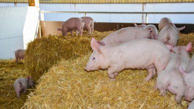Photo of Les cochons Hénaff vont prendre l'air