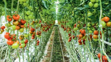 """Photo of Des importations """"massives"""" de tomates dénoncées"""