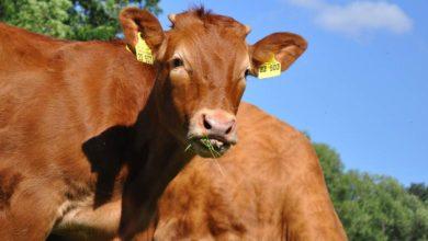 Photo of Revenu en viande bovine : Réfléchir les charges de structure
