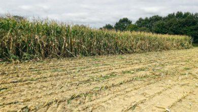 Photo of Les pyrales du maïs se préparent…