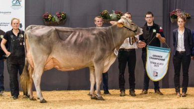Photo of Brune / Terralies 2019 : Les vaches éblouissantes du Gaec du Bois-Brillant