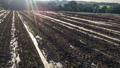 Photo of Mouche du semis : Du maïs sous plastique attaqué