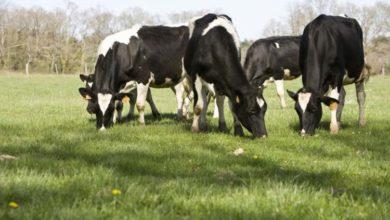 Photo of L'alimentation des vaches laitières – Point sur le pâturage au printemps 2019