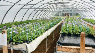 Photo of Pomme de terre : 70 ans de recherche à la station