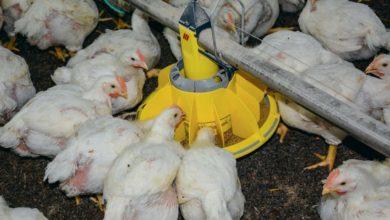 Photo of Les conséquences des évolutions de la filière sur les performances en élevage