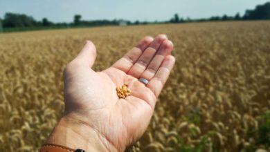 Photo of Qualité du blé : la récolte 2019 aussi bien classée que l'an dernier