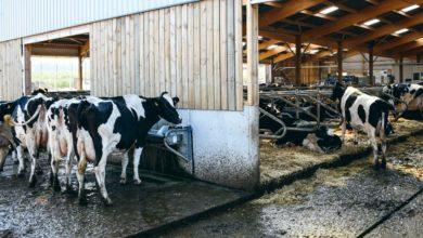 Photo of En lait, le bien-être animal bientôt évalué