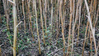 Photo of Du colza associé à des légumineuses