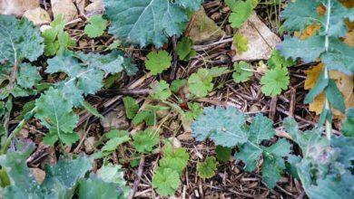 Photo of Colza : Des nouveaux herbicides rebattent les cartes