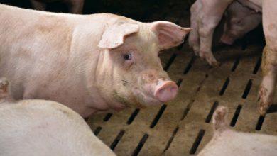 Photo of Les abatteurs européens cherchent des porcs