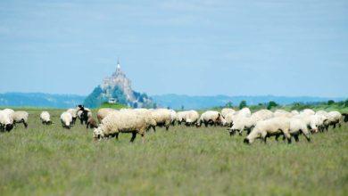 Photo of Gestion des herbus pour les agneaux de prés salés