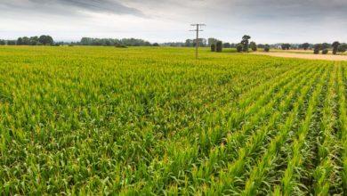 Photo of Maïs et sorgho : une première prévision de la récolte 2019 «à prendre avec prudence»