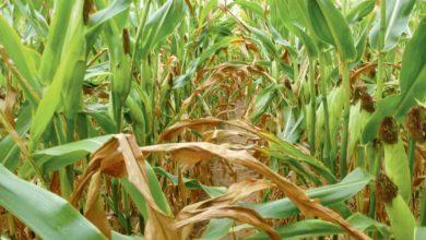 Photo of Quand faut-il ensiler un maïs en stress hydrique ?