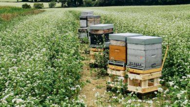 Photo of La récolte du miel d'été prévue fin juillet et début septembre