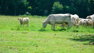 Photo of Viande bovine : Une meilleure valorisation en bio