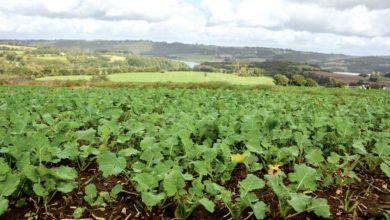 Photo of Les pluies de fin d'été ont conditionné les levées du colza