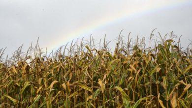 Photo of La pluie chamboule les plannings d'ensilage