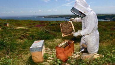 Photo of À Ouessant, on veille sur l'abeille noire depuis trente ans