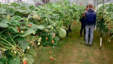 Photo of Les fraises apprécient la pelouse