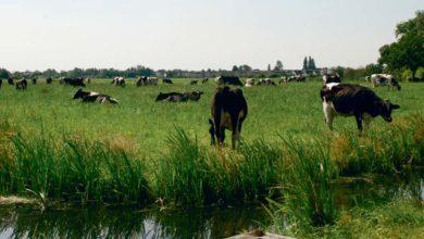 Photo of Dans les pays laitiers du Nord de l'Europe : Les modèles productivistes atteignent-ils leurs limites ?