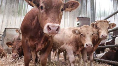 Photo of Sécurité et bien-être en bovin viande
