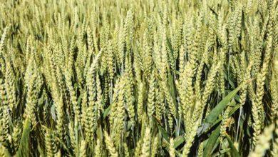 Photo of Peu de gain avec des mélanges de variétés de céréales