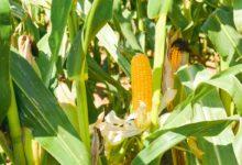 Photo of Marchés : Quand le maïs se réveillera…