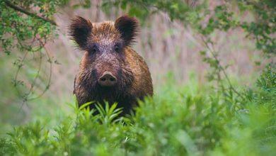 Photo of Un zonage régional en 2020 en cas de peste porcine