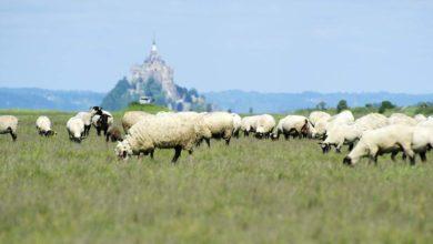 Photo of Les agneaux AOP en quête de reconnaissance