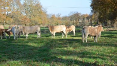 Photo of Viande bovine : Abaisser son coût alimentaire