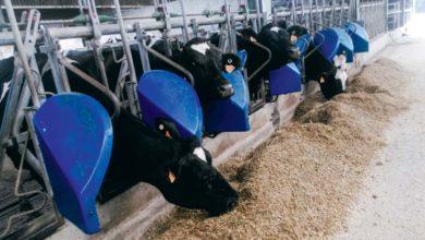 Photo of Maïs : Quel impact des brins longs sur la production laitière ?