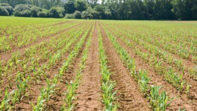 Photo of Implantation du maïs : Petit inter-rang, grand rendement ?