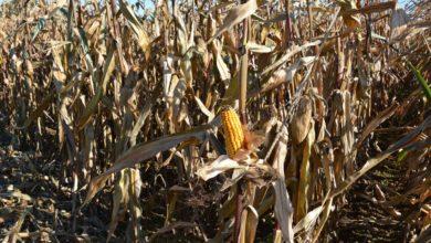 Photo of Ce qu'il faut retenir en maïs grain