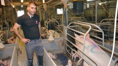 Photo of Levures et anti-oxydants protègent truies et porcelets