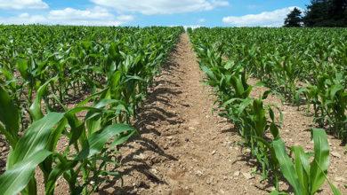 Photo of Pour une bonne installation de mon maïs : la stimulation au cœur de la semence