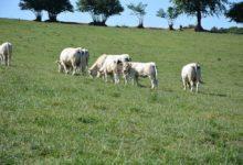 Photo of Décapitalisation rapide du troupeau allaitant