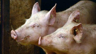 Photo of Baisse des cours en Allemagne, appel à la mobilisation générale pour la valorisation du Porc Français