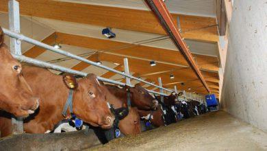Photo of La Suède laitière est intensive