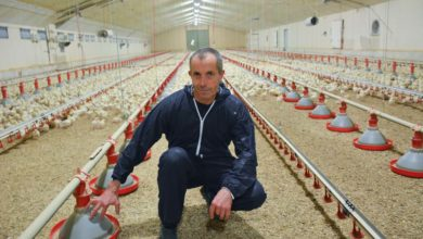 Photo of Le poulet export passe en souche rustique