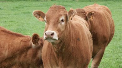 Photo of La viande bovine française fait ses premiers pas en Chine