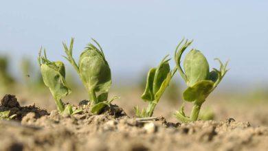 Photo of Pois de printemps : Semer en parcelles ressuyées