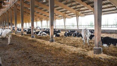 Photo of Une aire paillée pour 150 vaches