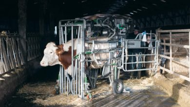 Photo of Boiterie des bovins : Tâches partagées pour la santé des pieds