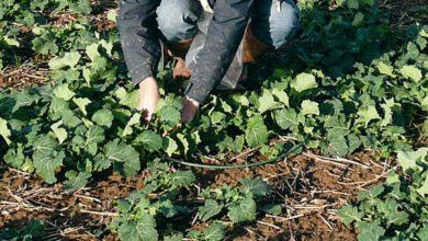 Photo of Colza : Les plants ont grossi pendant l'hiver
